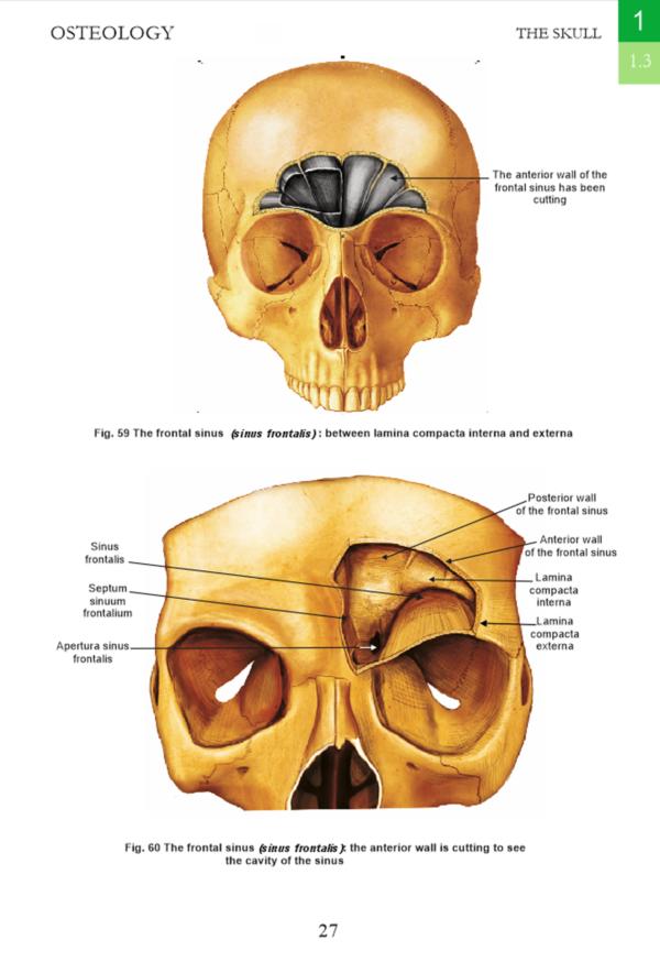 osteologie- craniu