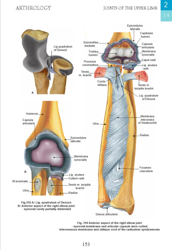 artrologie - membru superior