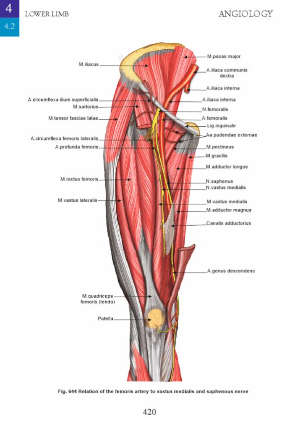 miologie- muschii membrului inferior